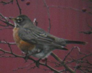An American Robin in Grimsby (02/01/04)