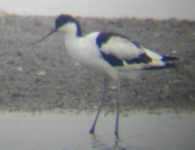 Avocet at Titchwell 29/7/02