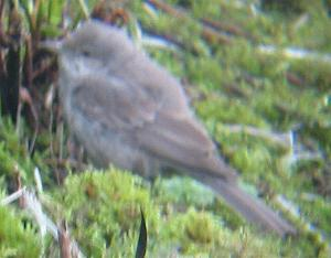 A Barred Warbler at Covenhan Reservoir (10/12/04)