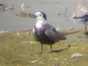 A Black Tern at Tring Resevoir (06/09/03)