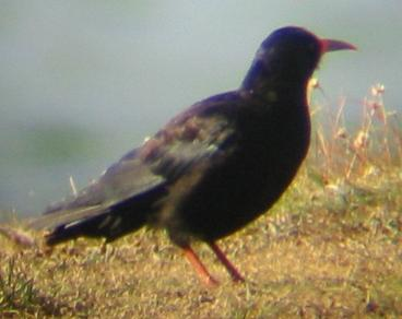 A chough on the Lizard (10/8/02)