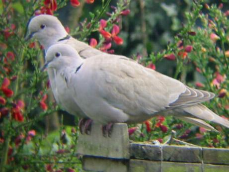 Collared Doves on our garden bird feeder