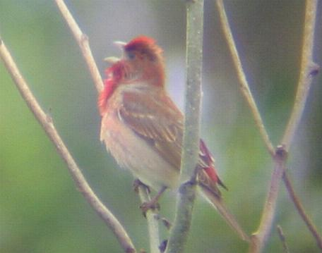 A Common Rosefinch at Weybourne (6/6/02)