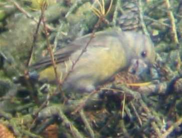 A female Crossbill at Sandringham (11/12/02)