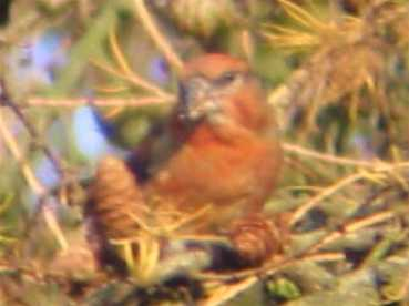 A male Crossbill at Sandringham (11/12/02)