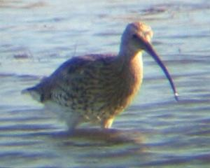 A Curlew at Titchwell (2/10/03)