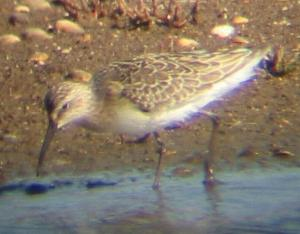 A Curlew Sandpiper at Titchwell (2/10/03)