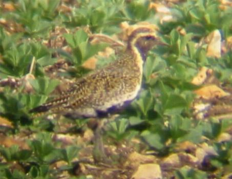 Golden Plover at Great Ravely (24/4/02)