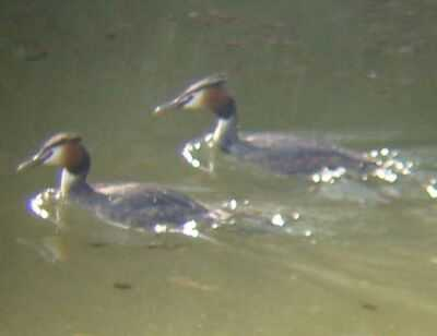 Great-crested Grebes near Boston (19/3/03)