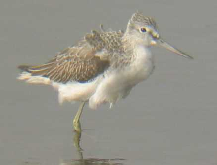 A Greenshank Lower Moors  (21/10/02)