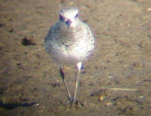 A Grey Plover at Titchwell (2/10/03)