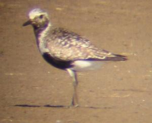 A Grey Plover at Titchwell (1/9/04)