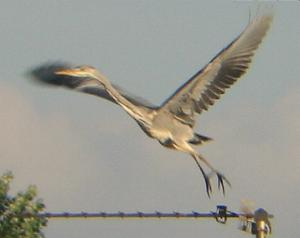 A Grey Heron in Whaplode (19/09/03)