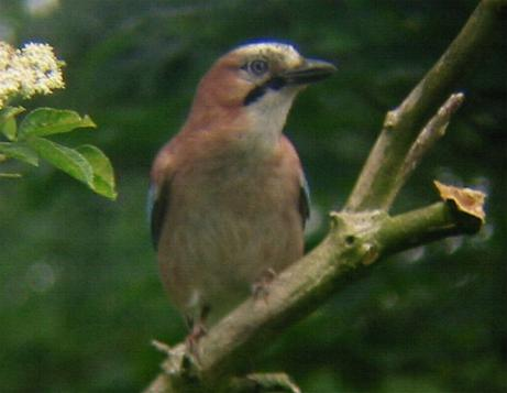 A Jay at Sandringham (6/6/02)