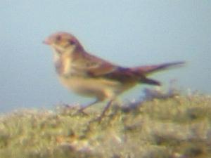 A Lapland Bunting on Porthellick Down (18/10/04)