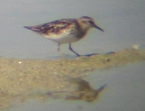 A Least Sandpiper at Tring Resevoir (06/08/03)