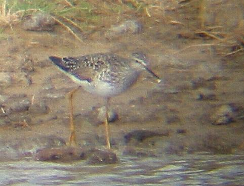 A Lesser Yellowlegs at Frieston Shore (31/5/02)