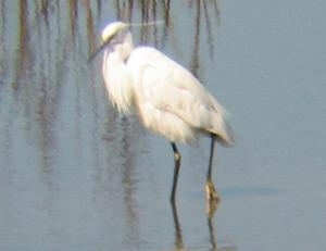 A Little Egret at Titchwell (1/9/04)