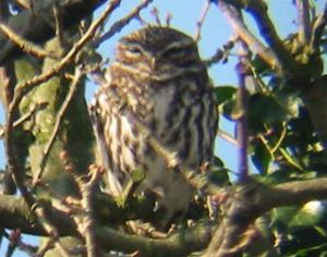 A Little Owl at Chosley Barns (01/03/04)