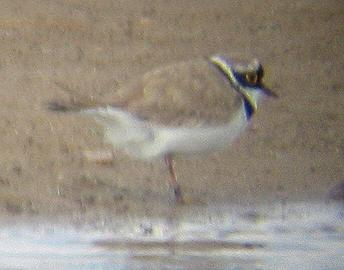 A Little Ringed Plover at Frieston Shore (31/5/02)
