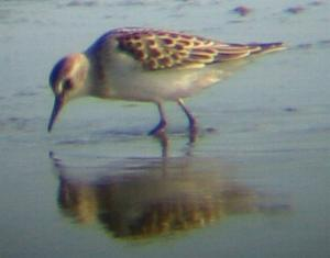 A Little Stint at Tittchwell (2/10/03)