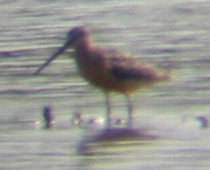 A Long-billed Dowitcher at Gibralter Pt. (19/7/04)