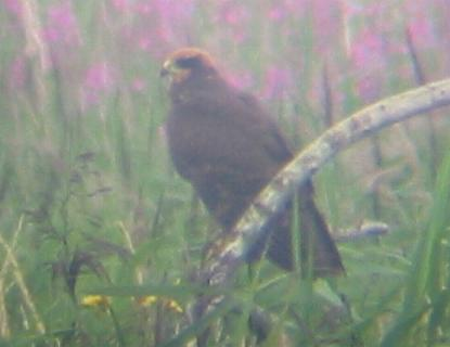 A Marsh Harrier at Titchwell 29/7/02