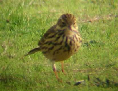 A Meadow Pipit, Tresco Heliport 19/10/02
