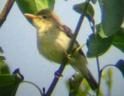 A Melodious Warbler at Whitburn (4/07/03)