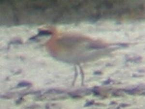 "A ""Mongolian"" Sandplover at Keyhaven (23/07/03)"