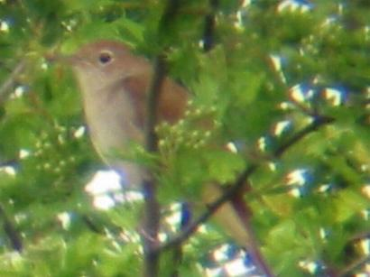 Nightingale at Little Paxton (25/4/02)