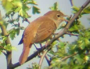 A Nightingale at Little Paxton (22/04/03)