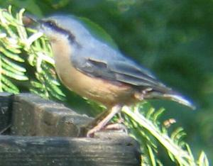 A Nuthatch at Sandringham (1/9/04)