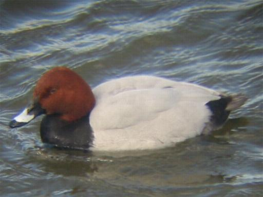 A Pochard at Welney (9/3/02)