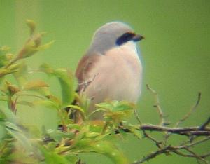 A Red-backed Shrike at Titchwell (11.5/04)