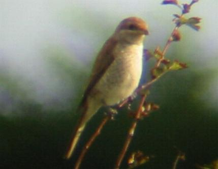 A Red-backed Shrike at Hunstanton 2/9/02