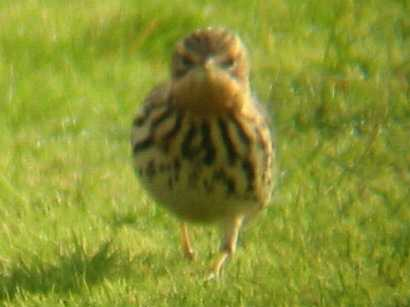 A Red-throated Pipit at Tresco Heliport 19/10/02
