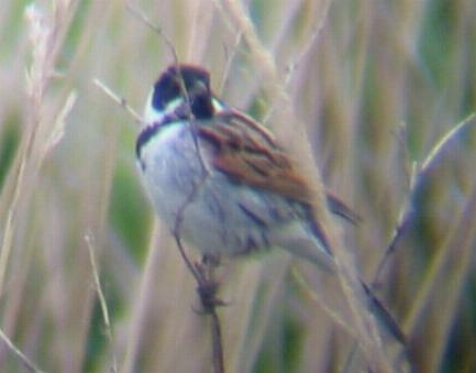 A Reed Bunting at Lakenheath (09/05/02)