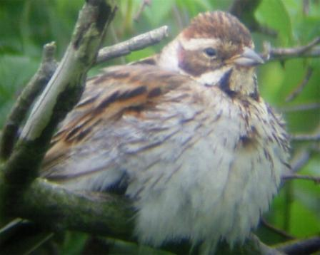 A Female Reed Bunting at Hardley Flood (19/6/02)