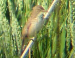 A Reed Warbler at Gedney Drove End (13/06/03)