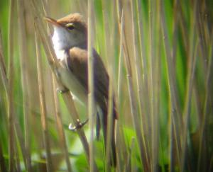 A Reed Warbler at Cley (05/06/04)