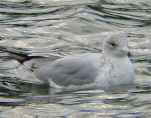 A Ring-billed Gull at Helston (17/10/03)