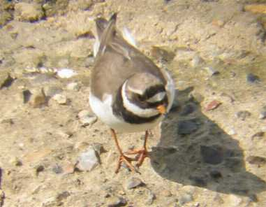 A Ringed Plover at Welney (15/5/03)