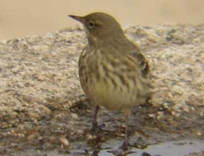 A Rock Pipit, New Grimsby Quay, Tresco, 19/10/02
