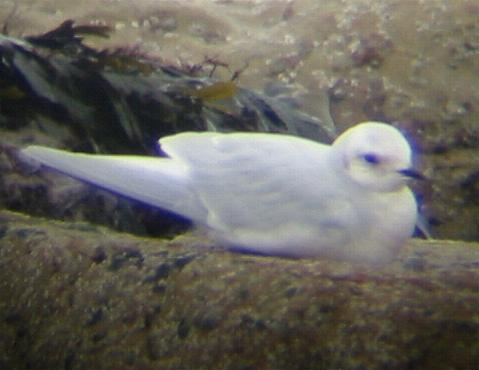 A Ross's Gull at Scarborough (18/3/02)