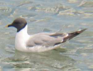 A Sabine's Gull at Lowestoft (05/06/03)