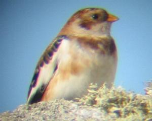 A Snow Bunting on Porthellick Down (18/10/04)