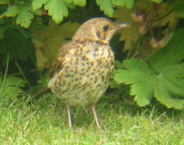 A Song Thrush in my garden (13/6/02)