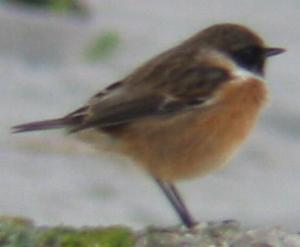A Stonechat, Porthloo Beach (21/10/03)