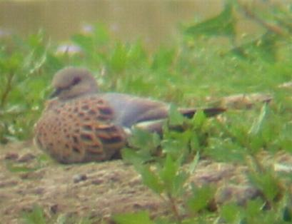A Turtle Dove at Gedney Drove End (12/8/02)